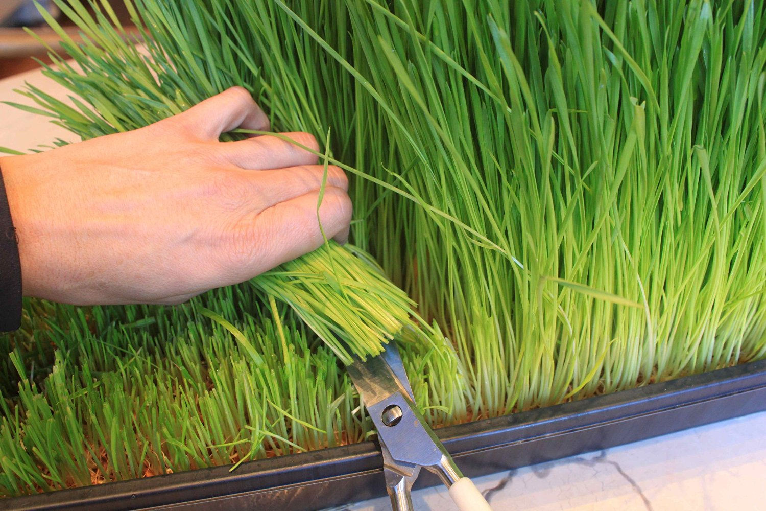 Grow Your Own Wheatgrass for Juicing