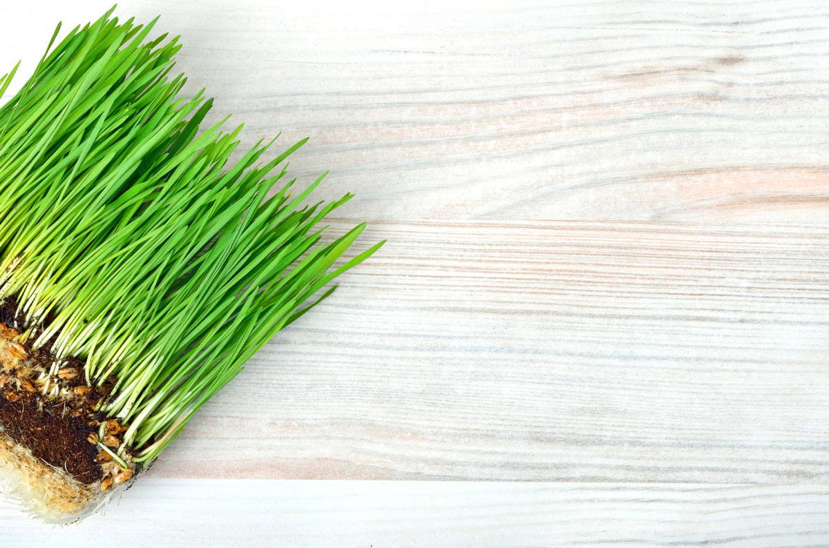 Myths about Wheatgrass